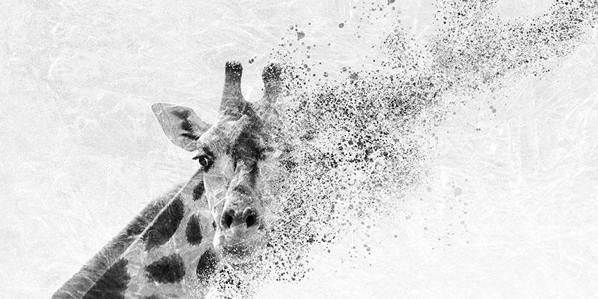giraffa carta da parati